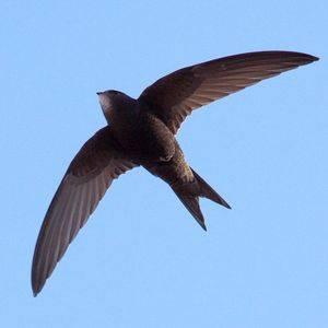 Ո՞ր թռչունն է թռչում ամենարագը