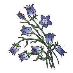 Ինչպես նկարել զանգակածաղիկ և կապույտ տերեփուկ