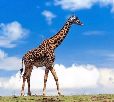 giraffe76