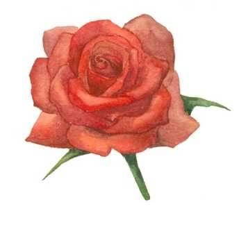Ինչպե՞ս նկարել վարդ