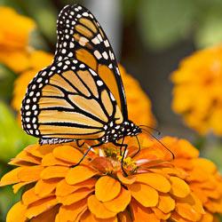 MonarchButterfly_250x250